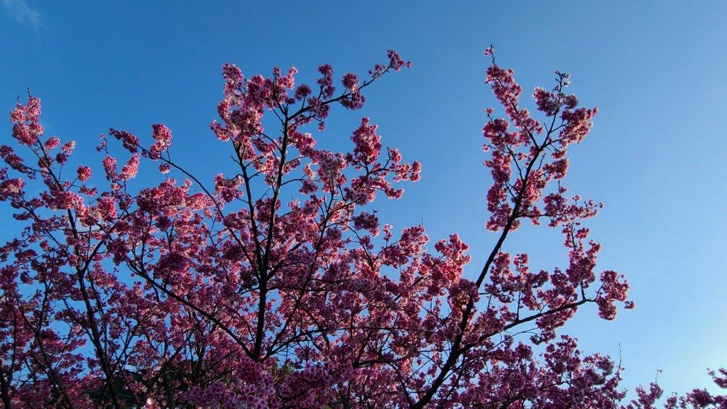 遇上櫻花季的直潭山_1252767