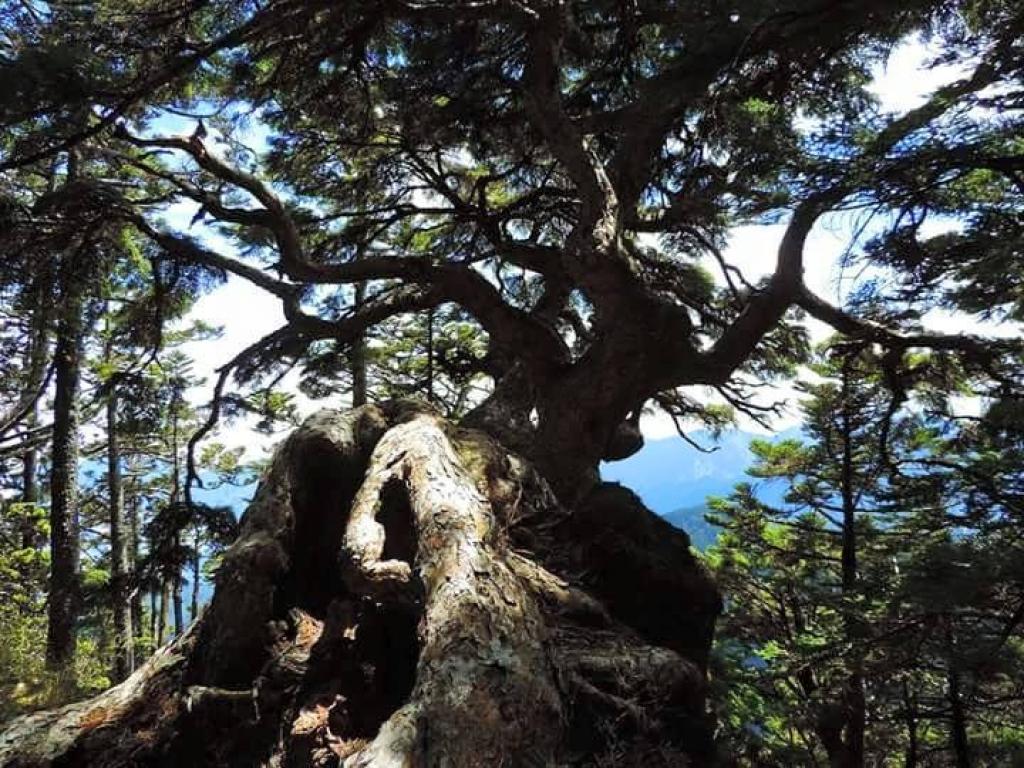 【春夏之際】巨木之美_18408