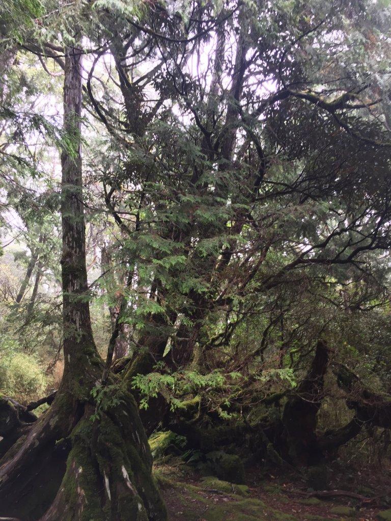 太平山檜木原始林步道_1056549