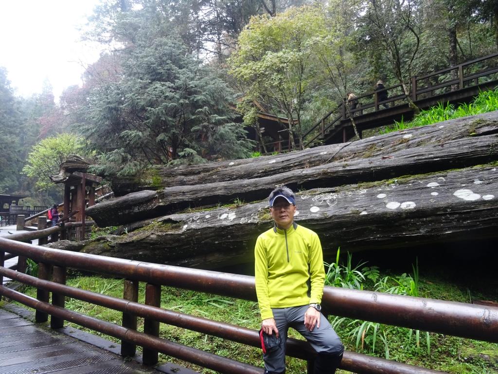 親近阿里山之鐵道櫻花巨木伴我行_48017