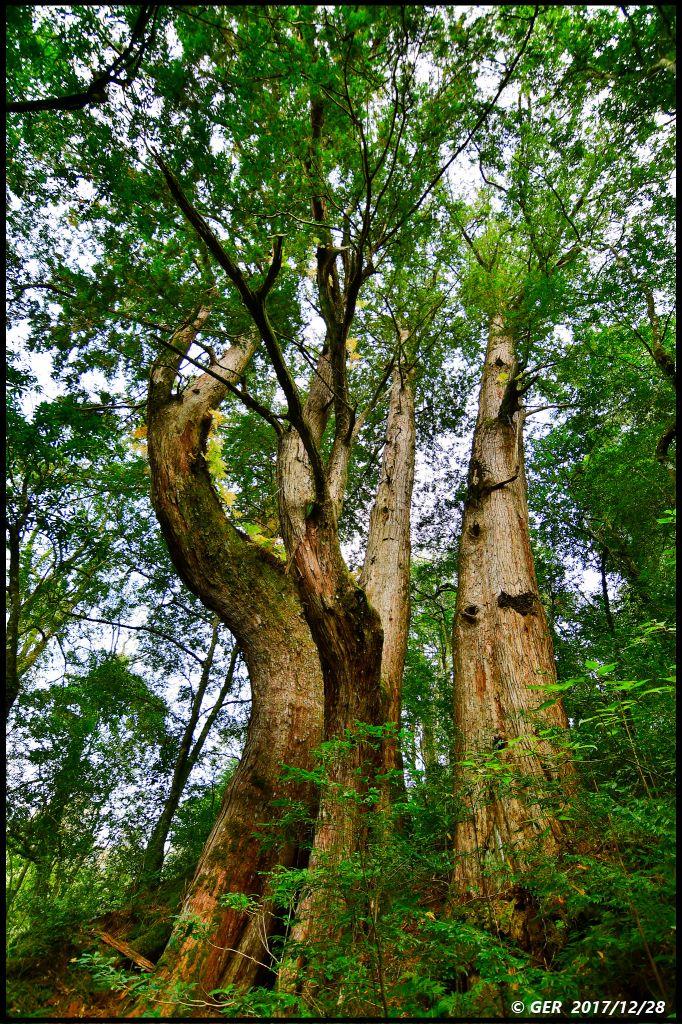 千年的對話~鎮西堡巨木森林 B區_234498