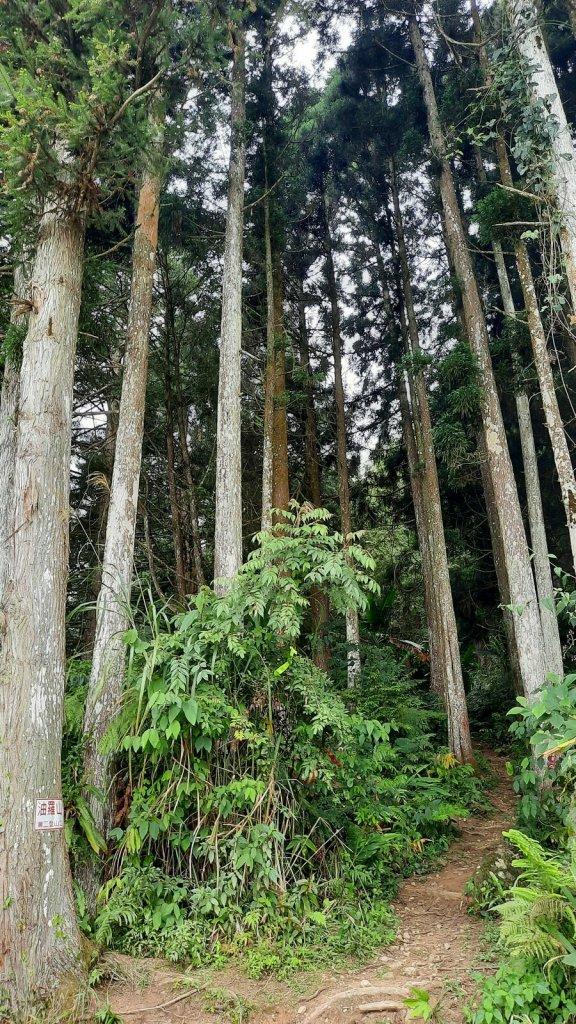 《新竹》柳杉林海|油羅山O型20210515_1387947