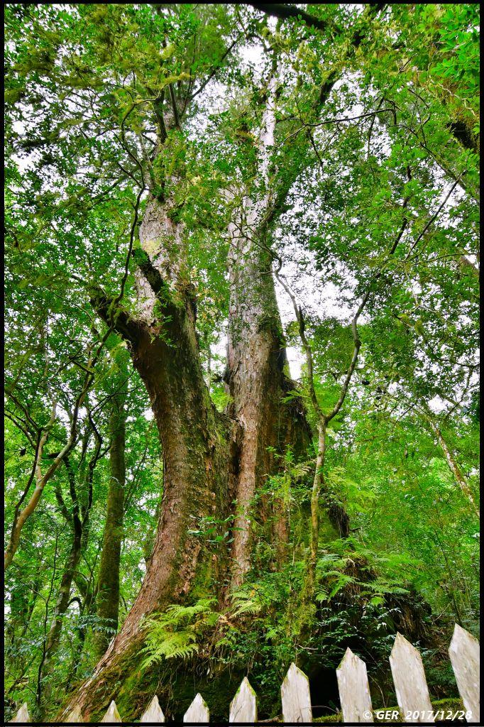 千年的對話~鎮西堡巨木森林 B區_234494