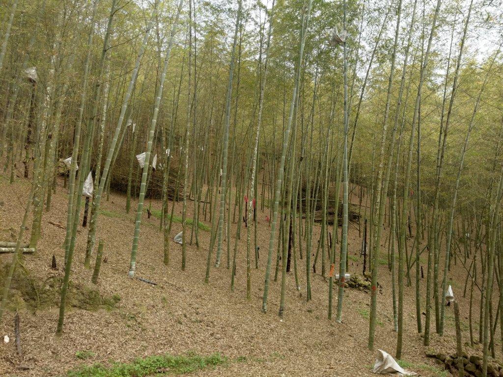 集集大山(小百岳#50):車埕步道+孟宗竹林_1363655