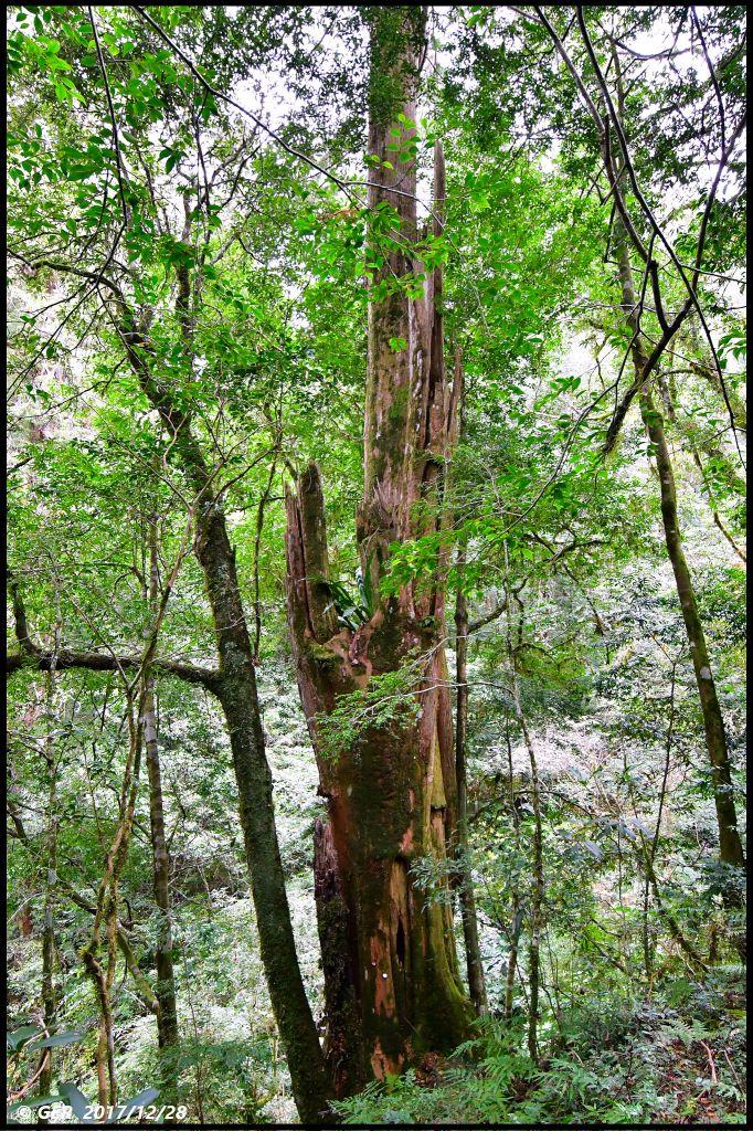 千年的對話~鎮西堡巨木森林 B區_234400