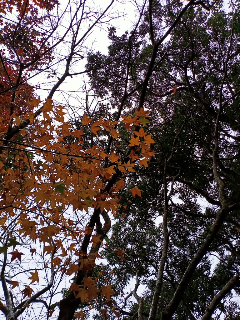 【小百岳集起來】土庫岳、紅葉山莊楓紅璀璨_1222010