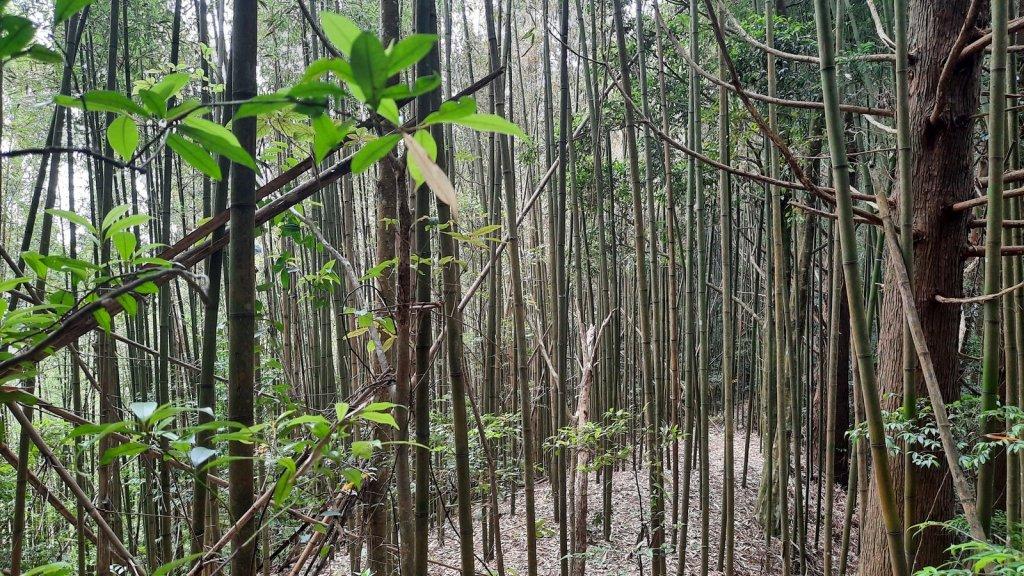 《新竹》柳杉林海 油羅山O型20210515_1387906