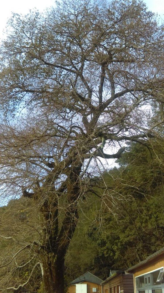 滿樹繁花、燦若雲霞的觀霧山莊_716717