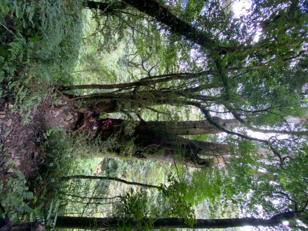 拉拉喀斯巨木群_1092176
