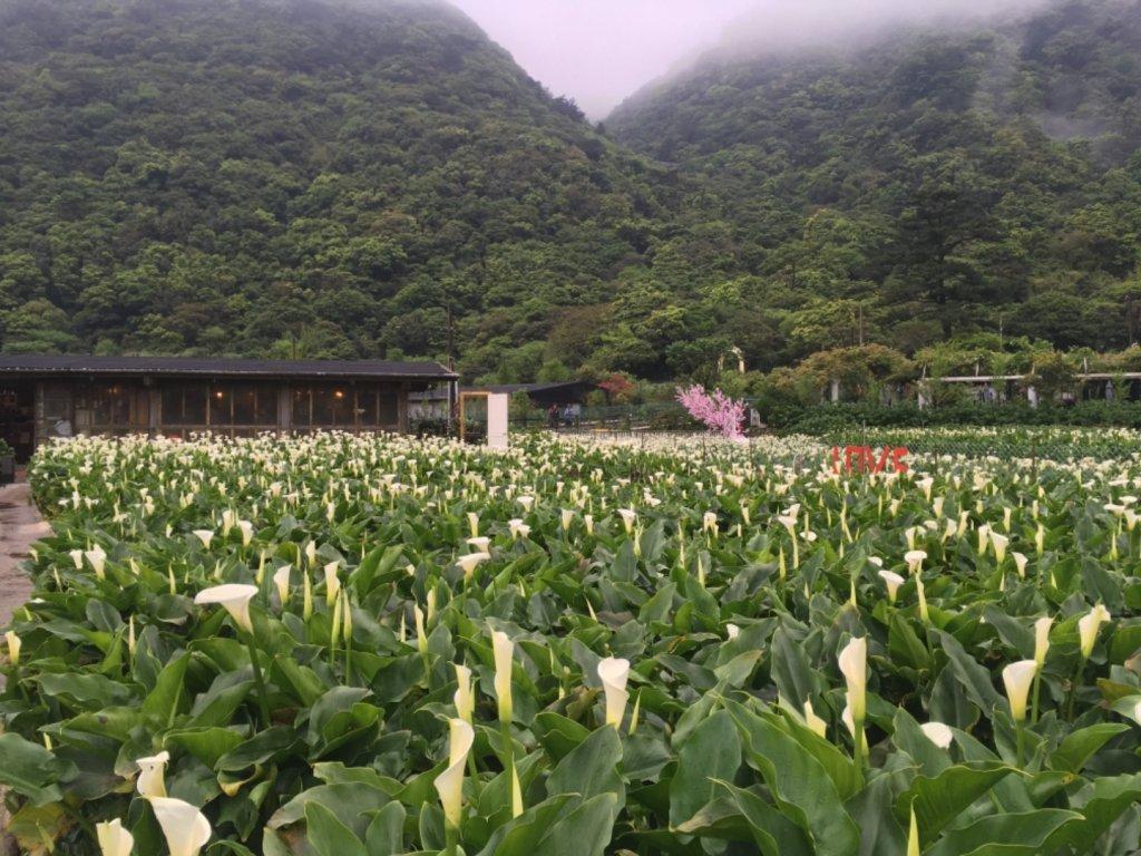頂湖海芋_910746