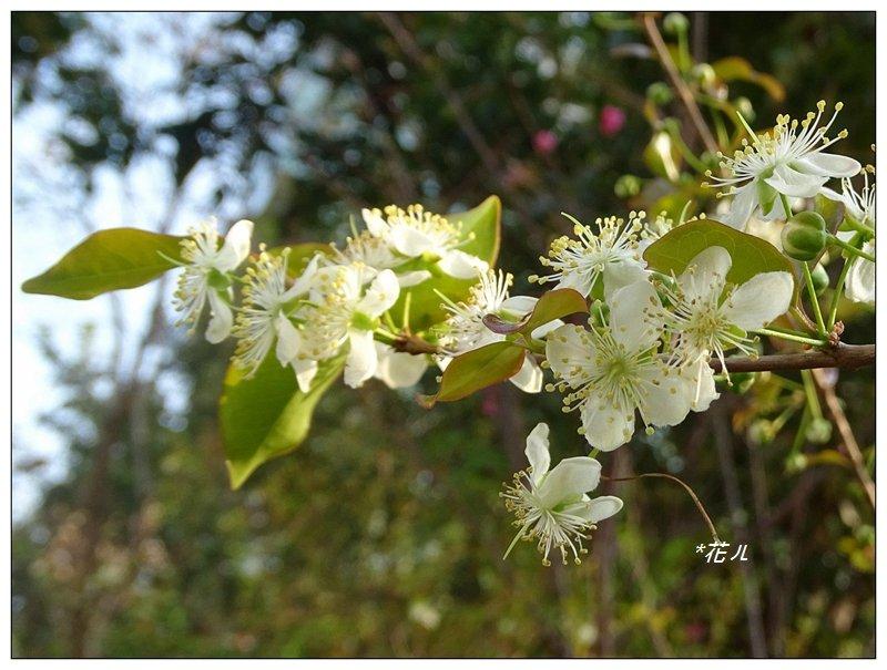 扁櫻桃的花開_835826