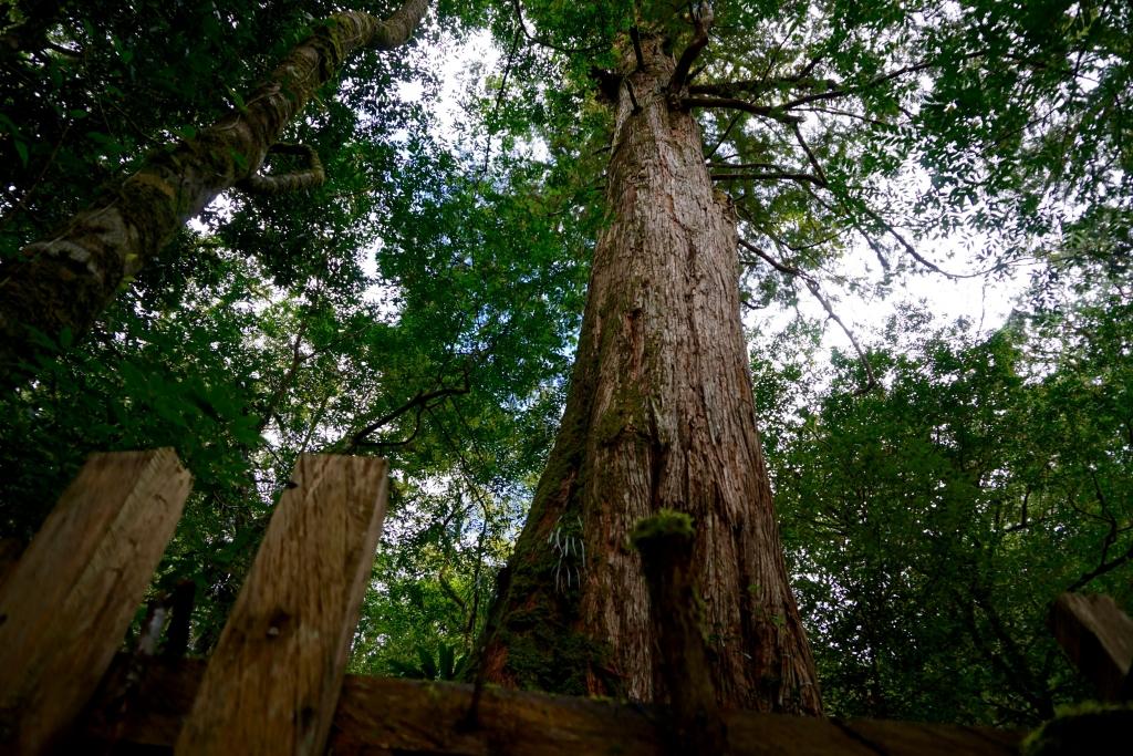 上帝的部落司馬庫斯 司馬庫斯巨木群 _65660