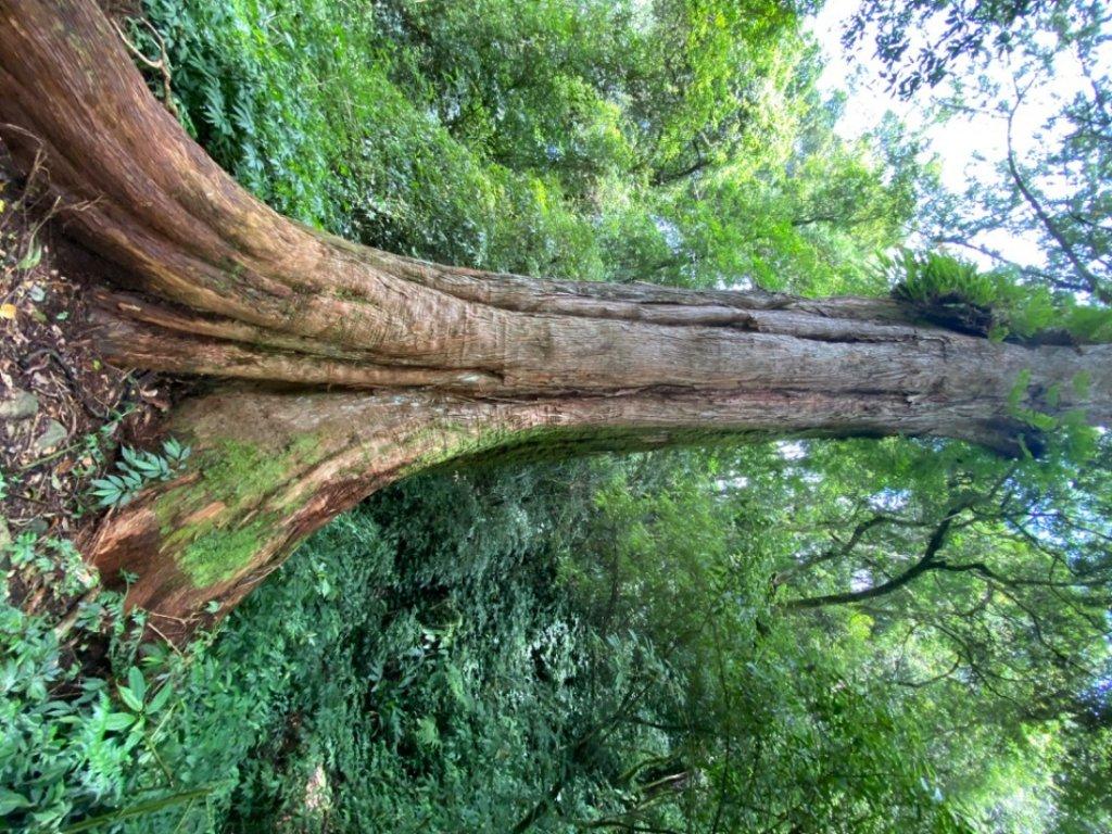 拉拉喀斯巨木群_1092182