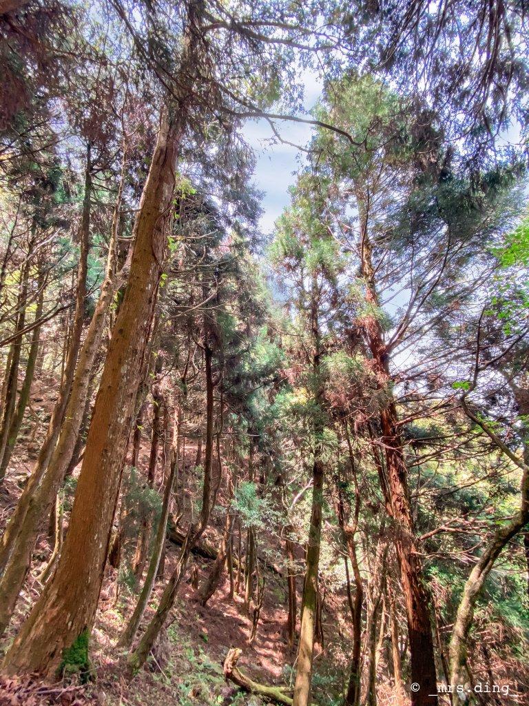 <新竹>觀霧檜山巨木群步道(雪霸國_924569