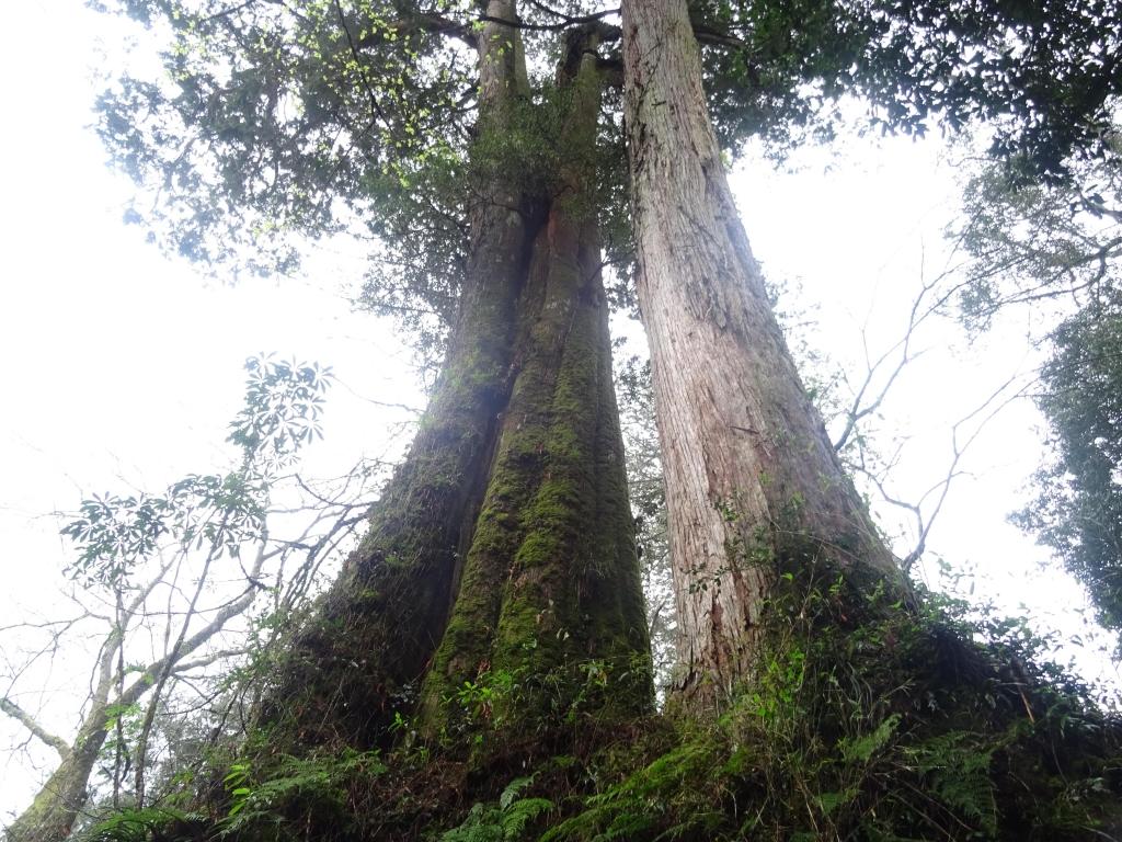 親近阿里山之鐵道櫻花巨木伴我行_48012
