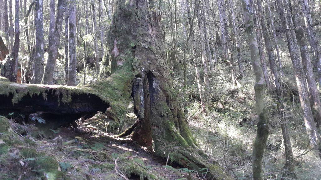 八仙山國家森林步道 2016 12 10_191768