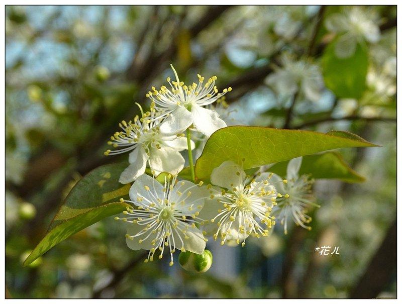 扁櫻桃的花開_835818