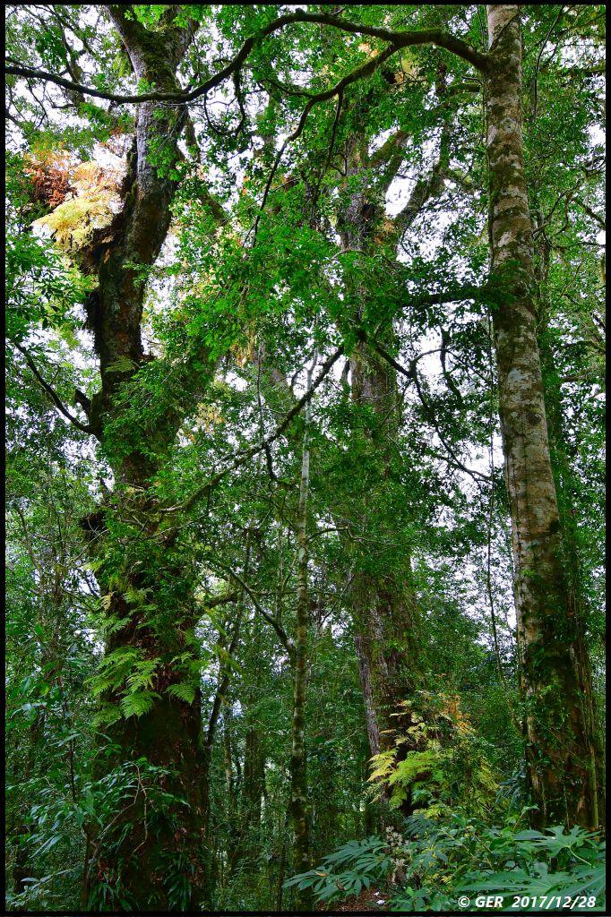 千年的對話~鎮西堡巨木森林 B區_234394