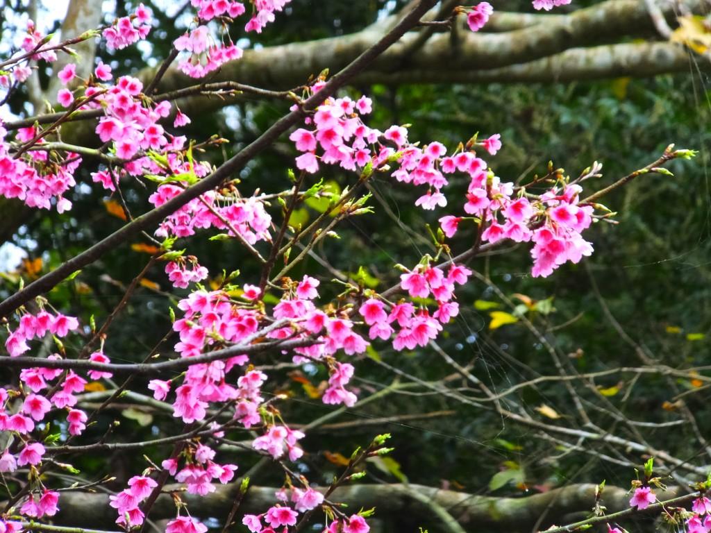 櫻花滿開貓空茶香環狀步道_254056