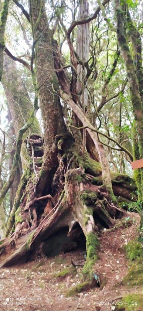 塔曼山越嶺達觀山連走拉拉山巨木群 - 神木巨木之旅_1363295