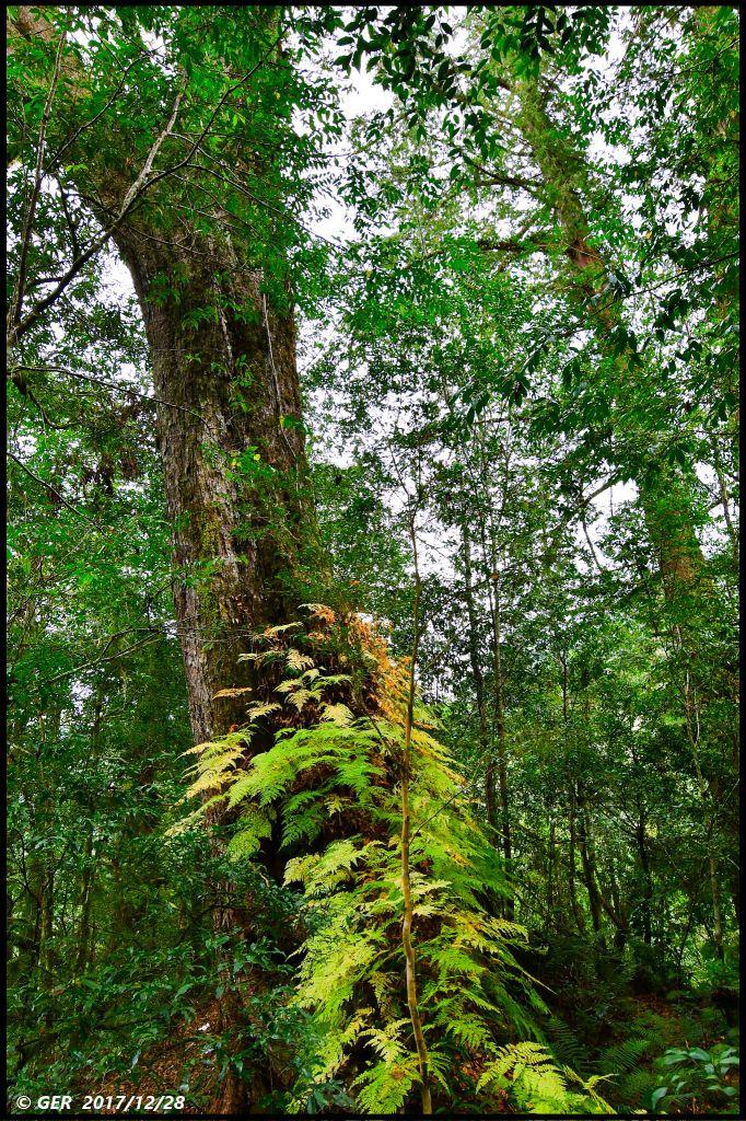 千年的對話~鎮西堡巨木森林 B區_234404