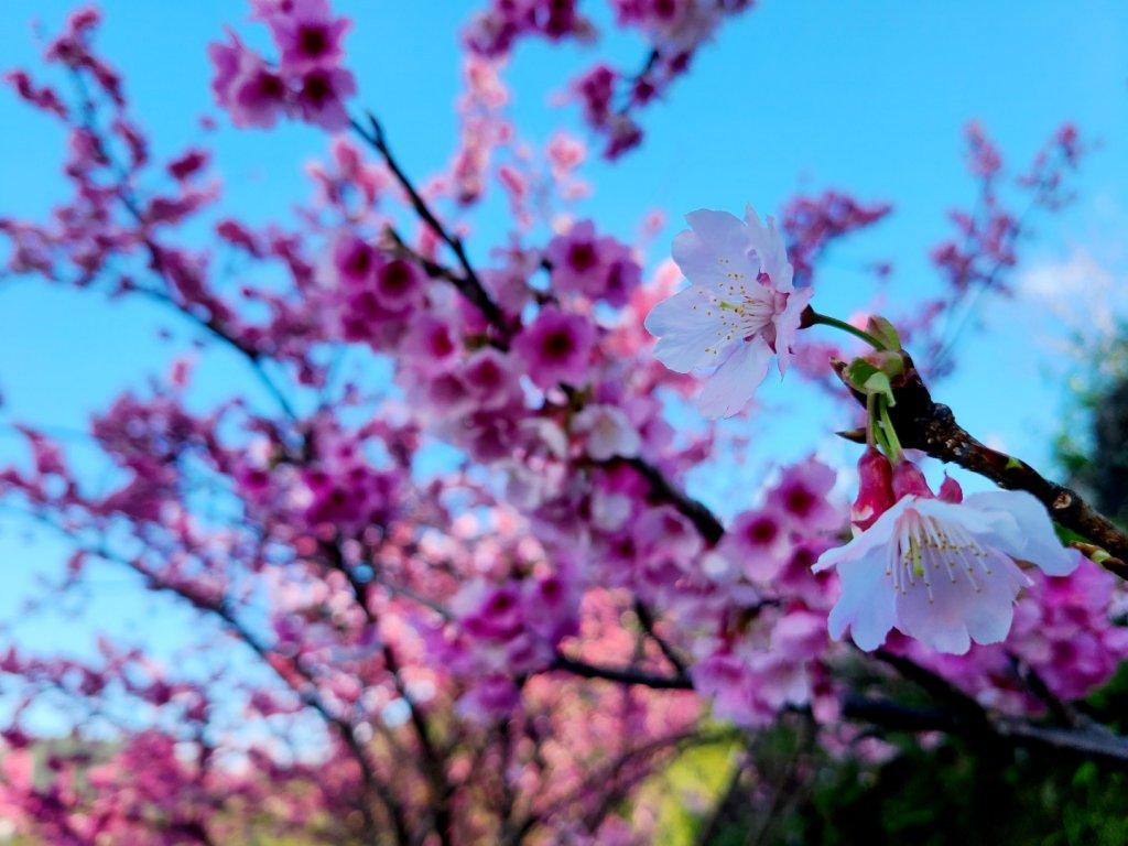 遇上櫻花季的直潭山_1252758
