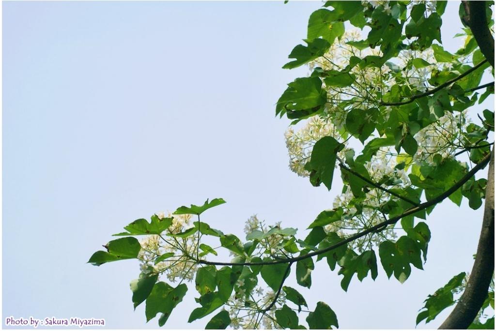 五月雪-油桐花之美_18021