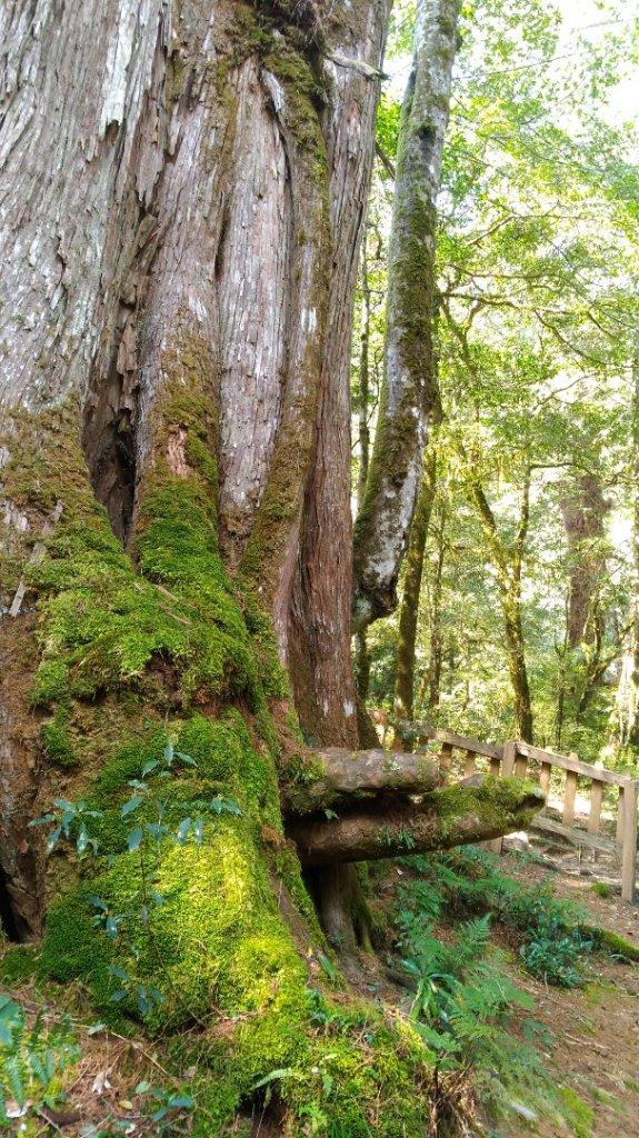 鎮西堡B區巨木群_1325637