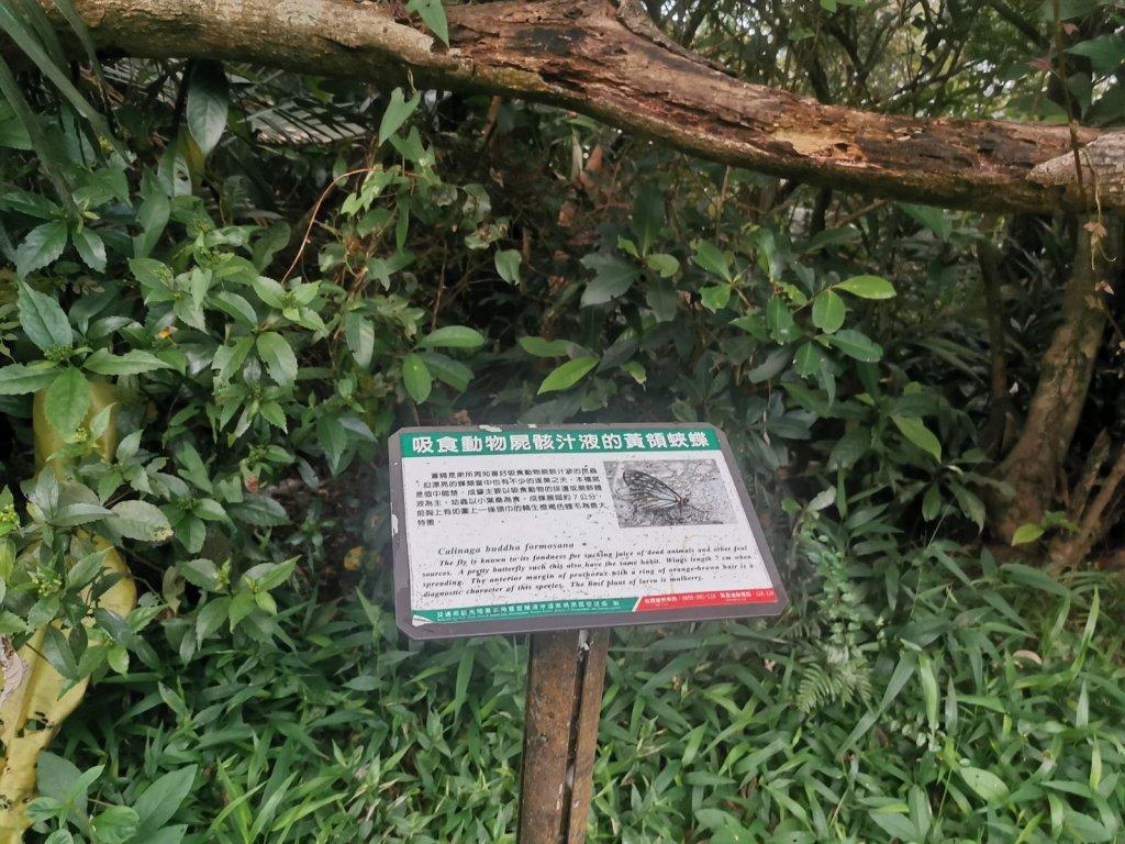 桃源谷步道(大溪、草嶺線)-滿谷牛與白鷺_1034012