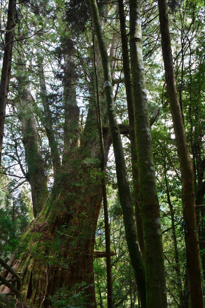 觀霧森林、加草花園_1325123