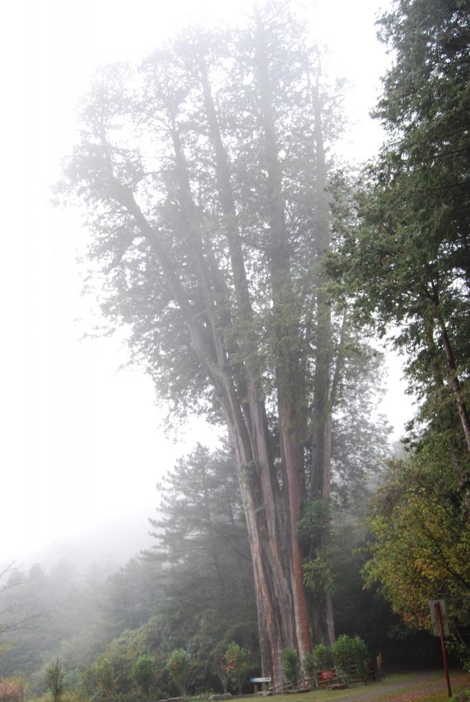 【春夏之際】大雪山神木,天池與帝雉_19285
