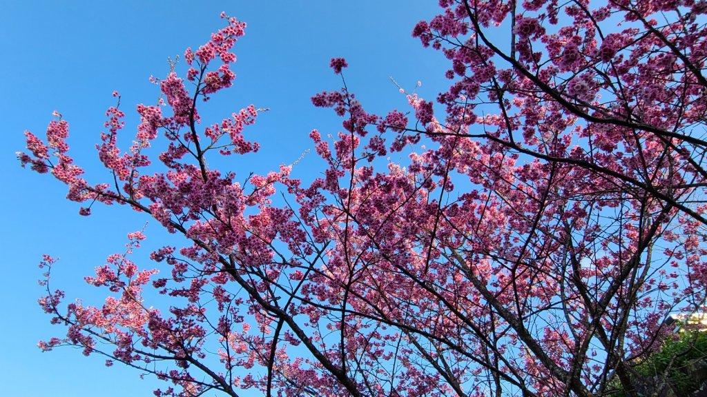 遇上櫻花季的直潭山_1252765