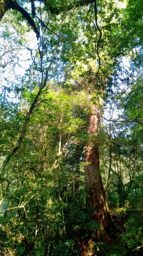 鎮西堡B區巨木群_1325639