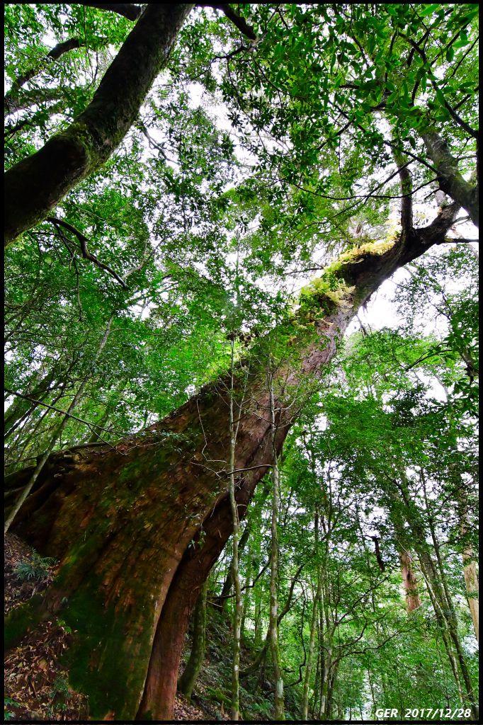 千年的對話~鎮西堡巨木森林 B區_234459