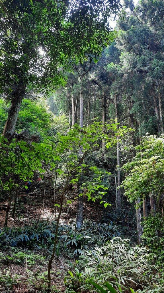 《新竹》柳杉林海 油羅山O型20210515_1387824