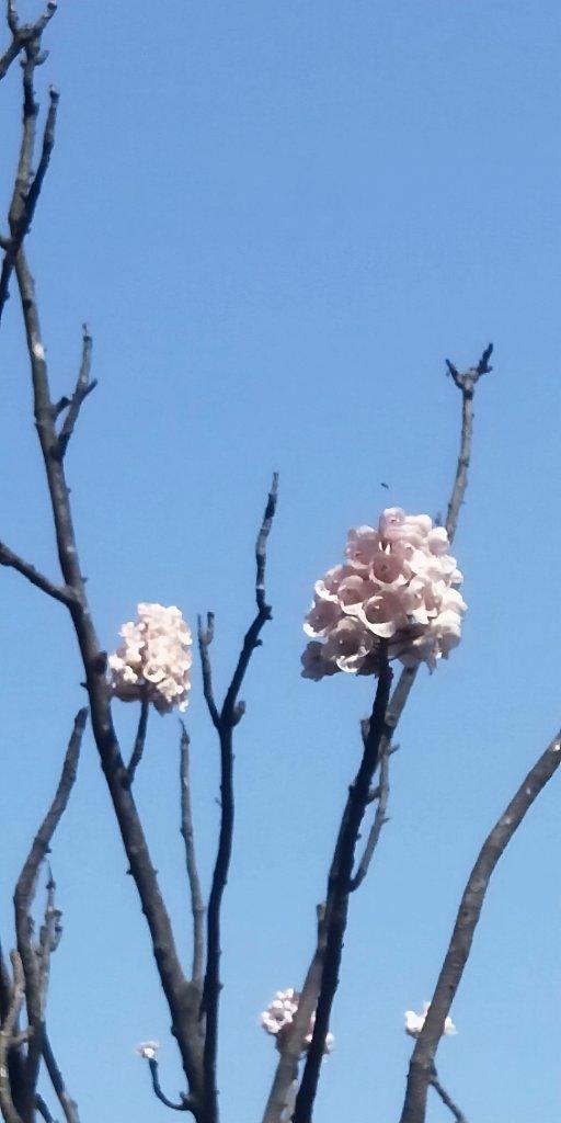 基隆國家新城樂利山,國寶鐘萼木開花惹_1281586
