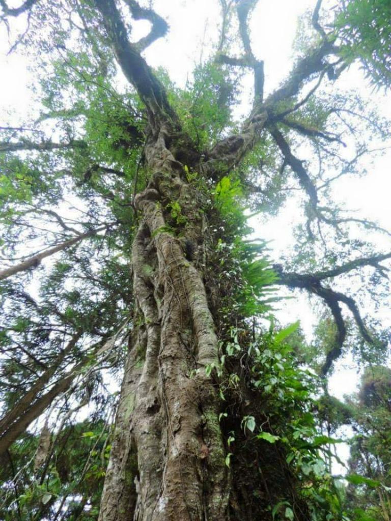 【春夏之際】巨木之美_18413