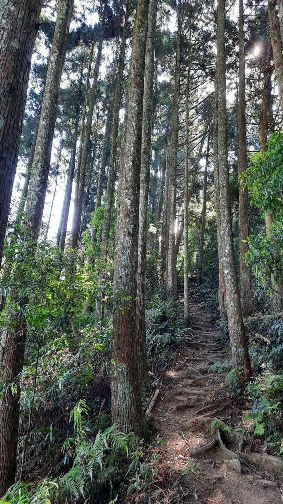 《新竹》柳杉林海 油羅山O型20210515_1387773