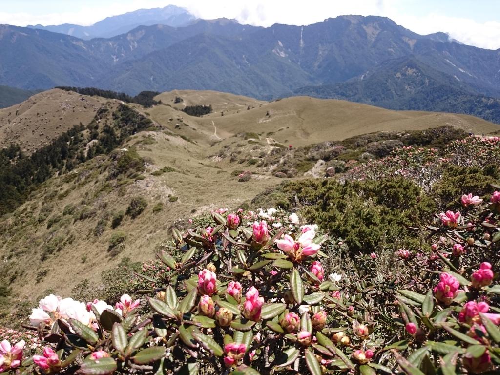 合歡北峰的玉山杜鵑花開了!_39062