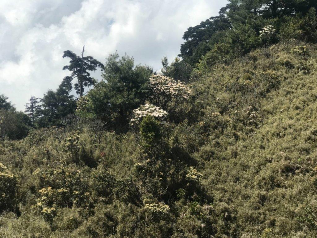 石山 草原上的高山杜鵑花紛紛爆發_560359