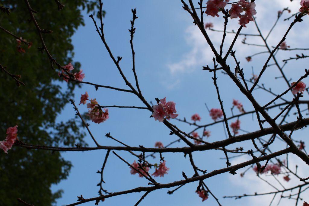 櫻花盛開小半天_202752
