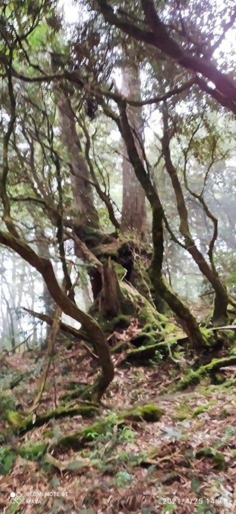 塔曼山越嶺達觀山連走拉拉山巨木群 - 神木巨木之旅_1363283
