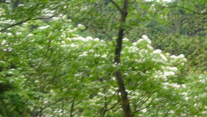 浪漫四月雪~土城桐花公園_1362459