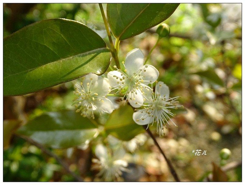 扁櫻桃的花開_835854