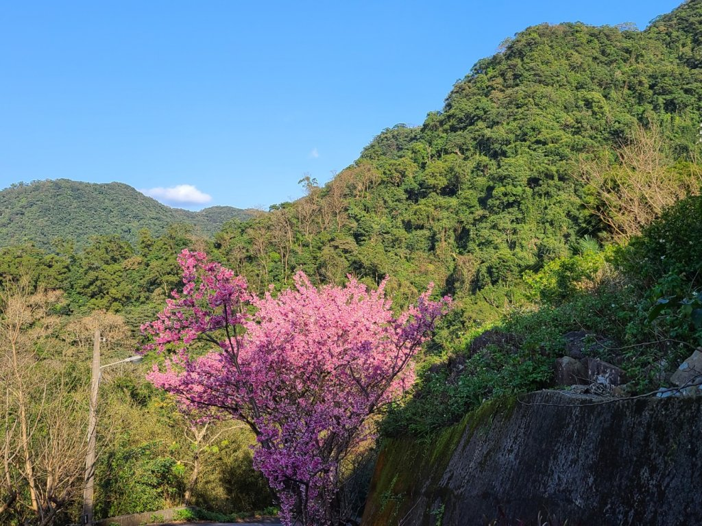 遇上櫻花季的直潭山_1252727