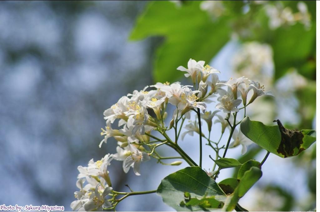 五月雪-油桐花之美_18005