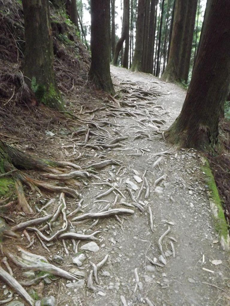 20110724 觀霧檜山巨木森林步道_187212