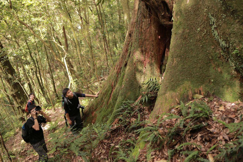 北得拉曼:巨木步道_173469