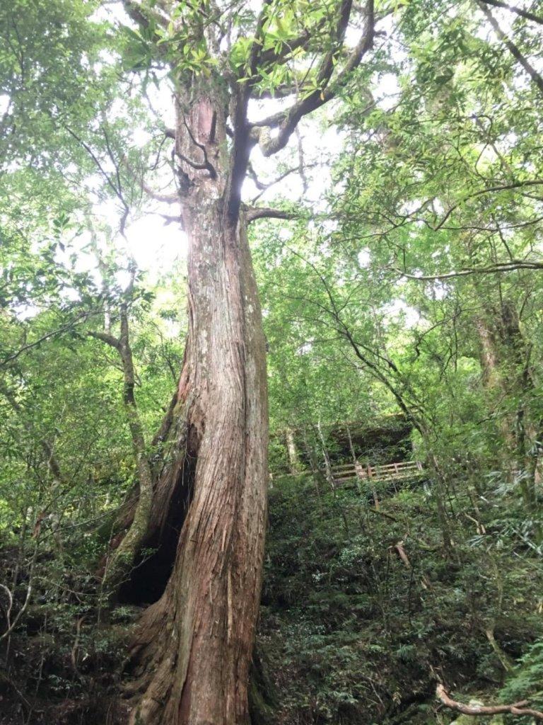 拉拉山巨木~~雨後雲海_616700