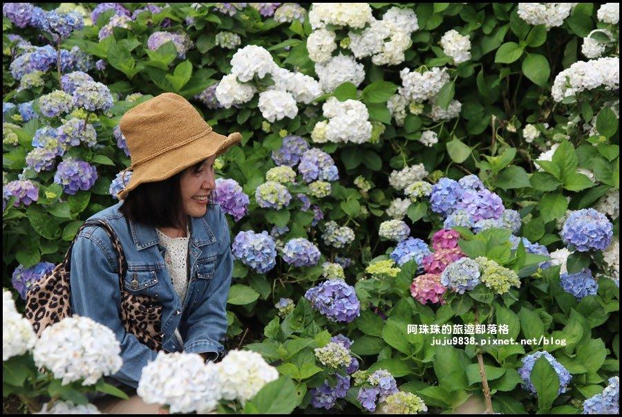 竹子湖繡球花季_594275